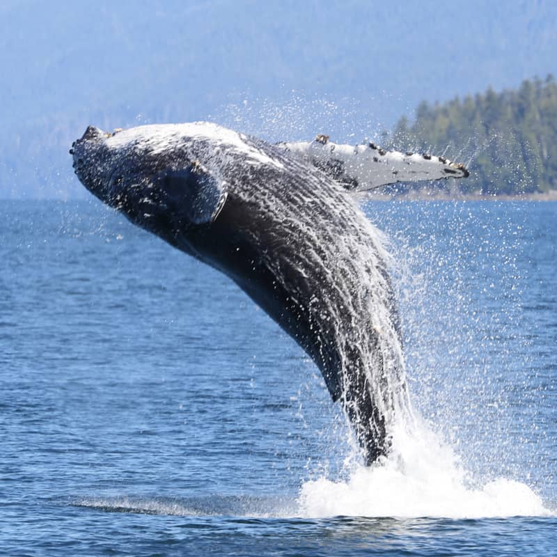 Buckelwal springt im Wasser