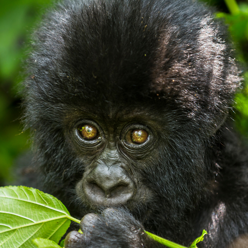 Nahaufnahme eines Berggorilla Junges im Virunga Nationalpark