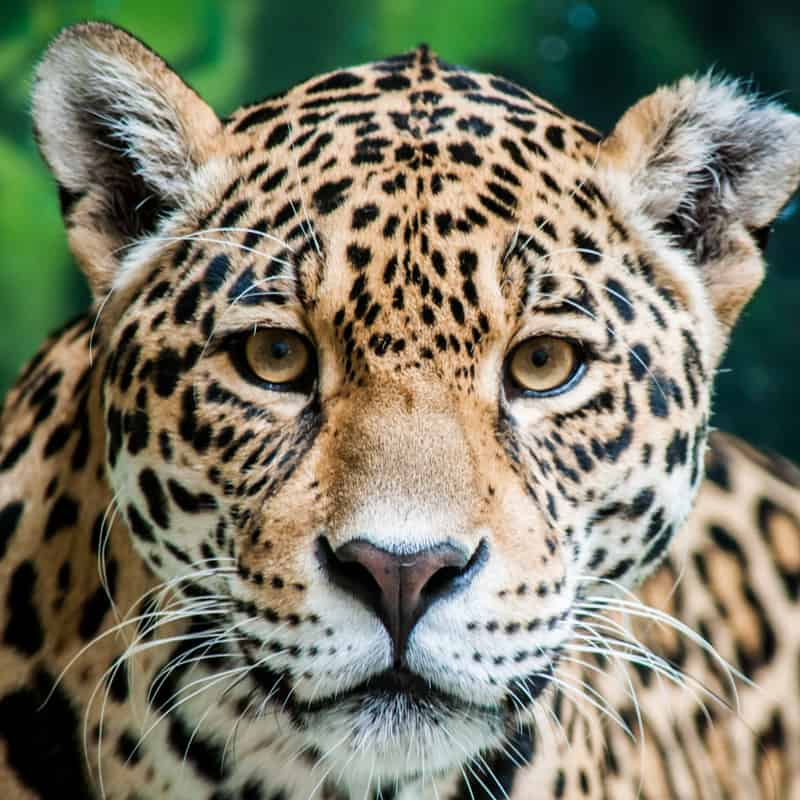 Nahaufnahme eines Jaguars