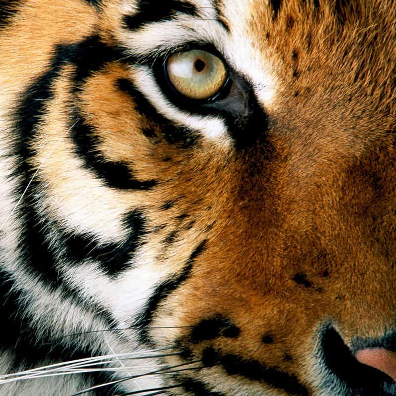 Nahaufnahme eines Tigers